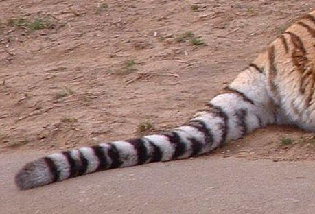 tigers-tail